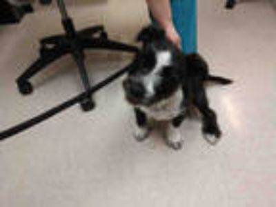 Adopt GEORGE a Black - with White Labrador Retriever / Mixed dog in Olivette
