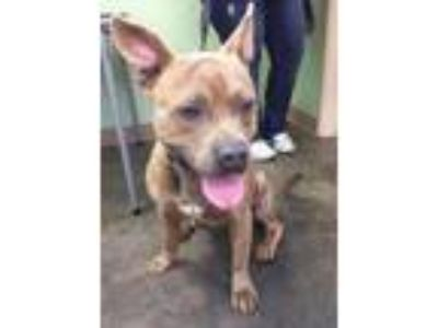 Adopt Petey a American Staffordshire Terrier