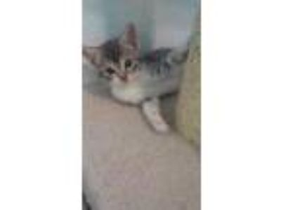 Adopt Skittles a Domestic Short Hair