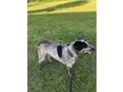 Adopt Hank a Black - with White German Shorthaired Pointer / Labrador Retriever