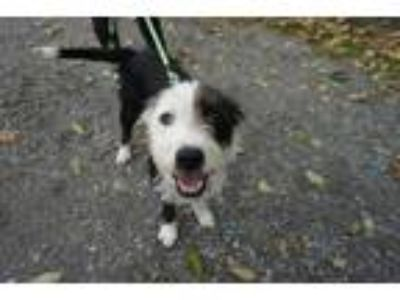 Adopt Petey a Black - with White Wheaten Terrier / Border Collie / Mixed dog in
