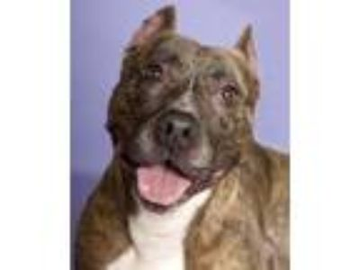 Adopt Bullwinkle a Brindle - with White American Staffordshire Terrier / Mixed