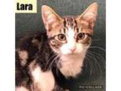Adopt Lara a Gray or Blue Domestic Shorthair / Domestic Shorthair / Mixed cat in