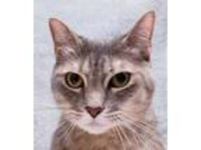Adopt Kitty a Gray or Blue Domestic Shorthair / Domestic Shorthair / Mixed cat