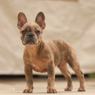 French Bulldog PUPPY FOR SALE ADN-87830 - Chance the Merle Frenchie