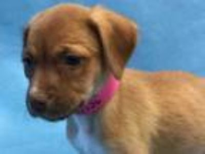 Adopt Oreo a Red/Golden/Orange/Chestnut Hound (Unknown Type) / Mixed dog in