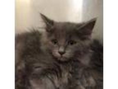 Adopt Brussels a Domestic Long Hair, Domestic Short Hair