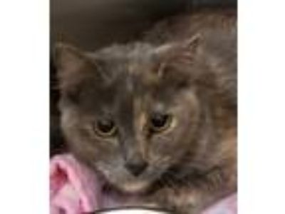 Adopt Coco a Domestic Mediumhair / Mixed cat in Birmingham, AL (25322873)