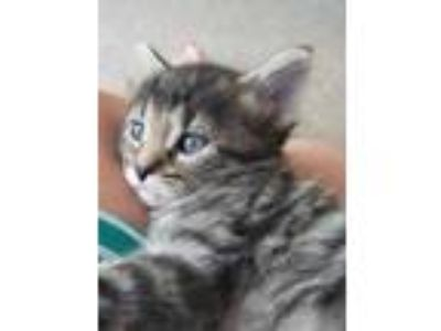 Adopt Holland a Gray or Blue Domestic Shorthair / Domestic Shorthair / Mixed cat