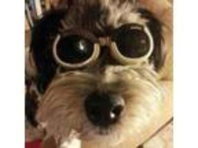 Adopt Benny Hill a Poodle, Shih Tzu