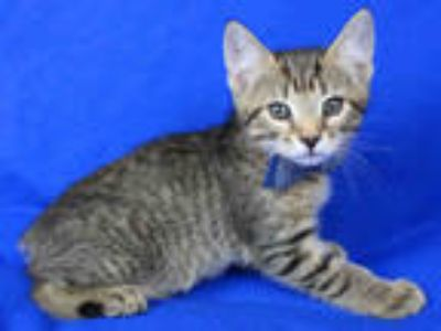 Adopt MAKO a Brown Tabby Manx / Mixed (short coat) cat in Tallahassee