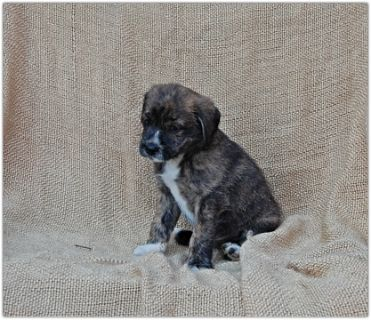 Pom-A-Poo-Border Collie Mix PUPPY FOR SALE ADN-88240 - Adorable Border Collie Mix Puppies