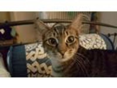 Adopt Forest a Domestic Shorthair / Mixed (short coat) cat in Northport