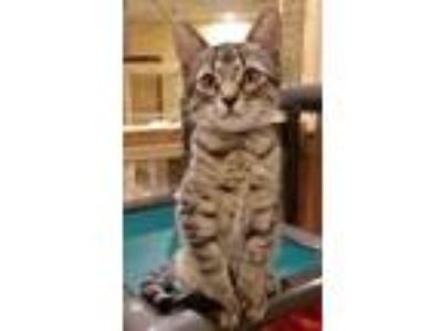 Adopt Woody a Brown or Chocolate Domestic Shorthair / Domestic Shorthair / Mixed