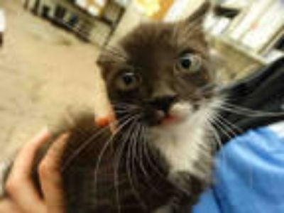 Adopt PRICKLY PEAR a Black & White or Tuxedo Domestic Shorthair / Mixed (short