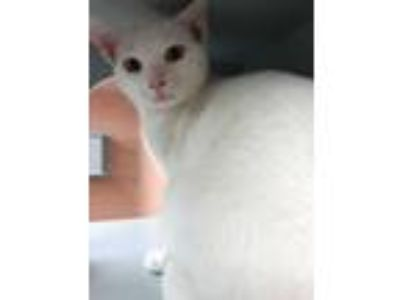 Adopt Snowflake a White Domestic Shorthair (short coat) cat in Lake Charles