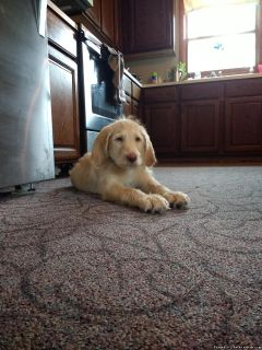 Male Labradoodle puppy