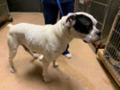 Adopt STONEY a White Boxer / Mixed dog in Garland, TX (25876359)