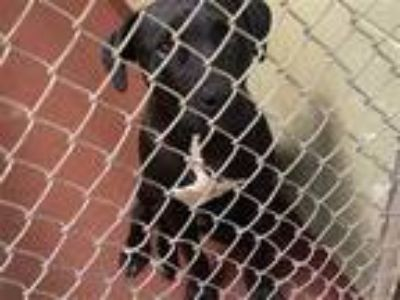 Adopt a Labrador Retriever / Mixed dog in Covington, GA (25308054)