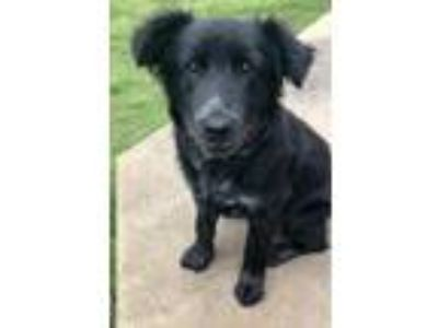 Adopt Birdie a Black - with White Border Collie / Mixed dog in Horn Lake
