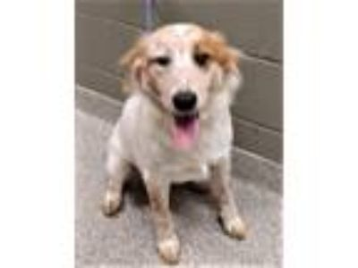 Adopt Meaghan a White - with Tan, Yellow or Fawn Australian Shepherd / Mixed dog