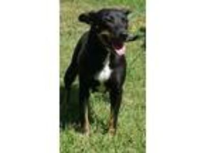 Adopt Sandy a Black Mixed Breed (Large) / Mixed dog in Natchez, MS (22126777)