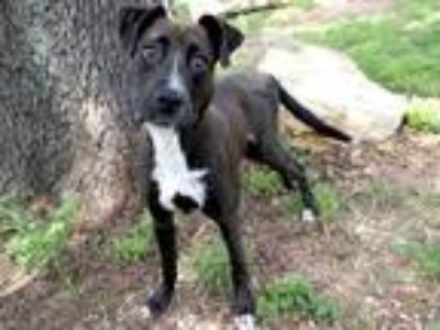 Adopt SCOOBY a Black - with White Labrador Retriever / Mixed dog in Austin