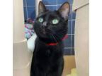 Adopt Trixie - Available in Foster!! a All Black Domestic Shorthair / Domestic