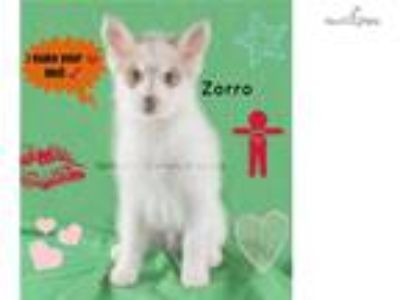 Beautiful Pomsky for sale-Parents health tested