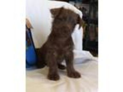 Adopt Takoda a Brown/Chocolate Airedale Terrier / Mixed dog in Montclair