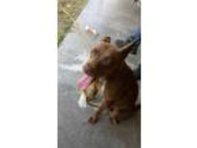 Adopt Daisy a Brown/Chocolate American Pit Bull Terrier / Shepherd (Unknown
