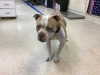 Adopt Dog a Brown/Chocolate American Pit Bull Terrier / Mixed dog in Jurupa