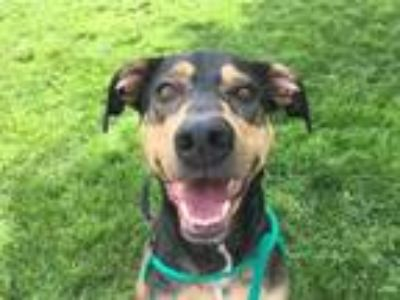 Adopt Gracie a Black Doberman Pinscher / Mixed dog in Merriam, KS (25268137)
