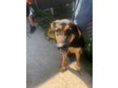 Adopt Bandit a Black - with Tan, Yellow or Fawn German Shepherd Dog dog in