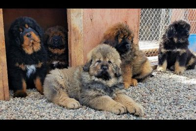 DRAKYI Tibetan Mastiff Puppies