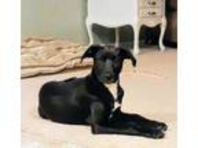 Adopt Isla a Black Retriever (Unknown Type) / Mixed dog in Fort Collins