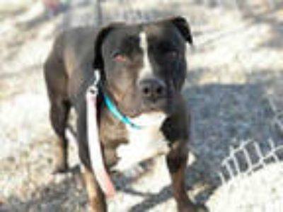 Adopt MICK a Black - with White American Pit Bull Terrier / Mixed dog in Mesa
