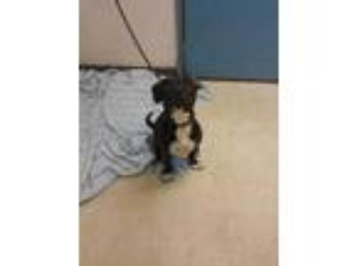 Adopt Twizzler a Black American Pit Bull Terrier / Mixed dog in Gulfport