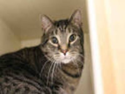 Adopt *SPUD* a Brown Tabby Domestic Shorthair / Mixed (short coat) cat in Salt