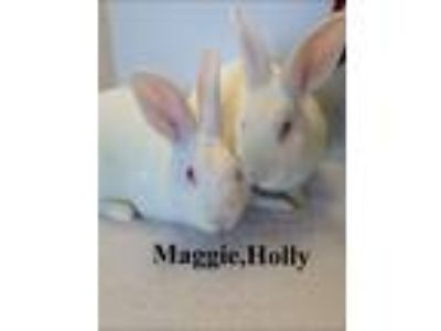 Adopt Maggie/Molly a White New Zealand / Mixed (short coat) rabbit in Auburn