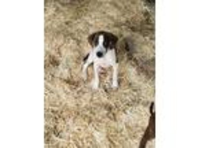 Adopt PADDYCAKE a White - with Brown or Chocolate Hound (Unknown Type) / Mixed