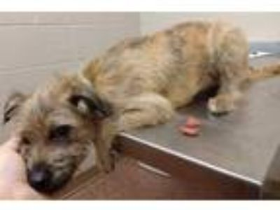 Adopt Benji a Brindle Terrier (Unknown Type, Small) / Mixed dog in New Albany