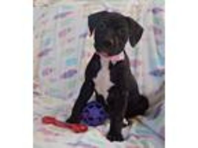 Adopt Missandei a Black Boxer dog in Savannah, GA (25597398)