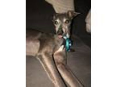 Adopt Speedy a Italian Greyhound