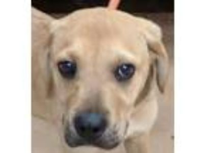 Adopt GAC#34-apr19 a Tan/Yellow/Fawn Labrador Retriever / Mixed dog in Gadsden