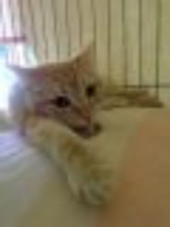 Primrose Domestic Short Hair Cat