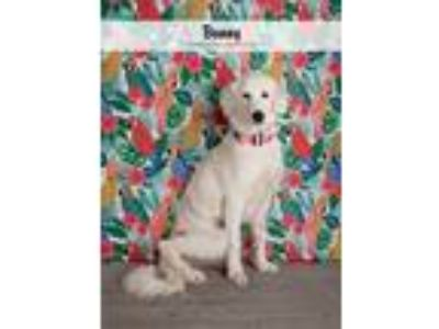 Adopt Bunny a White Great Pyrenees dog in Denver, CO (25550705)