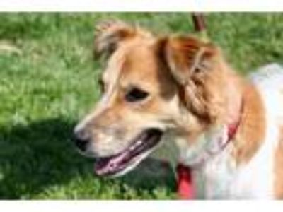 Adopt Gracie a Collie / Cattle Dog / Mixed dog in St. Charles, MO (25306531)