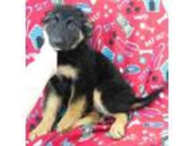 Adopt Valkyrie a Black German Shepherd Dog / Border Collie / Mixed dog in Morton