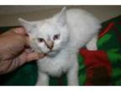 Adopt a White Domestic Shorthair / Mixed (short coat) cat in Modesto